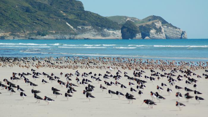Waders and Cape Farewell Farewell Spit Tours